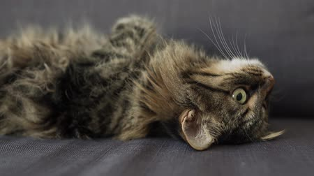 front cover : Cute tabby domestic cat lies on its back and watches the object behind the scenes