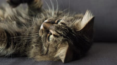 tlapky : Cute tabby domestic cat lies on its back and watches the object behind the scenes
