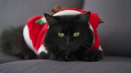 кошачий : Close up portrait of a black fluffy cat with green eyes dressed as Santa Claus. Christmas symbol