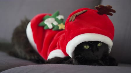 suíças : Close up portrait of a black fluffy cat with green eyes dressed as Santa Claus. Christmas symbol