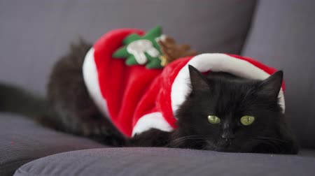 weihnachtlich : Close up portrait of a black fluffy cat with green eyes dressed as Santa Claus. Christmas symbol