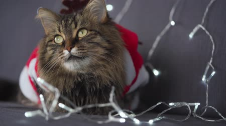полосатый : Close up portrait of a tabby fluffy cat dressed as Santa Claus sits on a background of Christmas garland. Christmas symbol