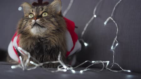 weihnachtlich : Close up portrait of a tabby fluffy cat dressed as Santa Claus lies on a background of Christmas garland. Christmas symbol
