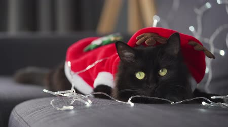 suíças : Close up portrait of a black fluffy cat dressed as Santa Claus lies on a background of Christmas garland. Christmas symbol