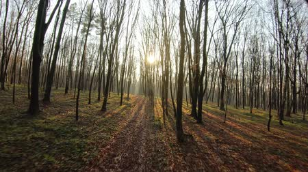 kontrolovány : FPV drone flight through an autumn forest at sunset. Slow motion