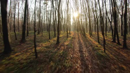 through leaves : FPV drone flight through an autumn forest at sunset