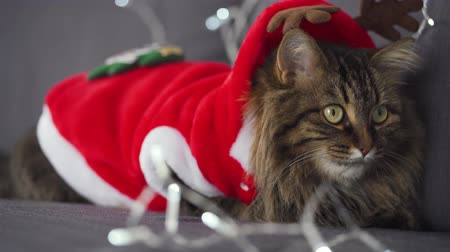 natalizio : Close up portrait of a tabby fluffy cat dressed as Santa Claus lies on a background of Christmas garland. Christmas symbol