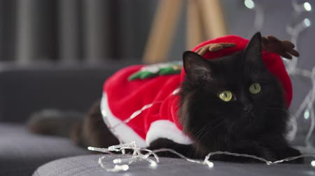 weihnachtlich : Close up portrait of a black fluffy cat dressed as Santa Claus lies on a background of Christmas garland. Christmas symbol