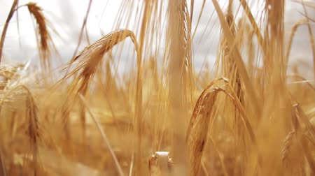 mellow autumn : Going through the field of wheat. Camera goes through the field of growing wheet Stock Footage