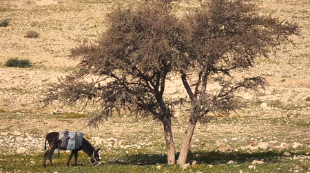 burro : Donkey Eats the Grass Under the Lonely Tree Stock Footage