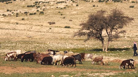burro : Herd of goats eats the grass under the lonely tree.Desert Hot Galilee