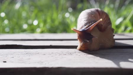 salyangoz : Giant African Land Snail Achatina Stok Video