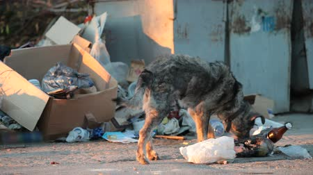 yoksulluk : homeless dog feeding into garbage can Stok Video