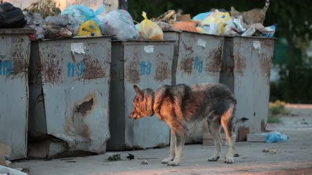 szemét : homeless hungry dog looking for food near the trash bins