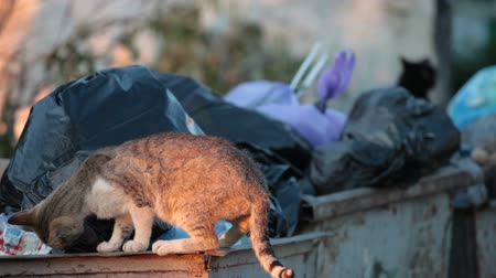 evsiz : homeless hungry cat in garbage bins