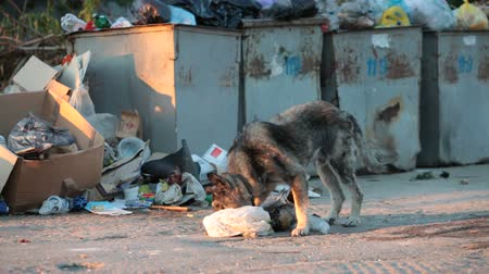 abandoned city : homeless dog digging in the waste Stock Footage
