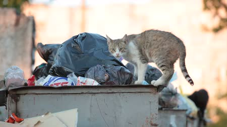evsiz : homeless cat looking for food in overflowing trash dumpster