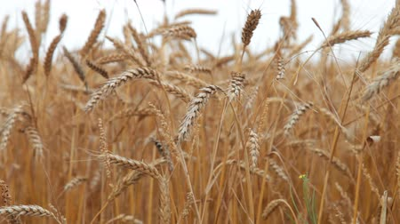 pszenica : ears of ripe wheat Wideo