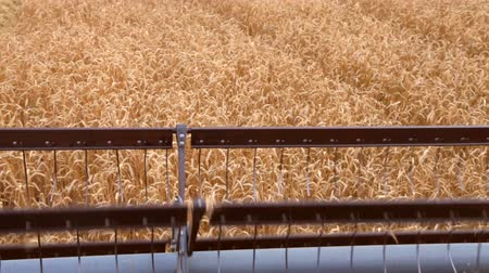 cereais : Wheat Harvesting