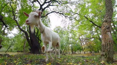 cabra : Curious Goat Stock Footage