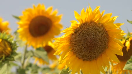 girasoles : girasoles Archivo de Video