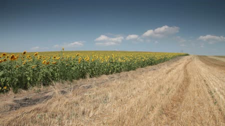 girassóis : sunflowers field under blue  sky