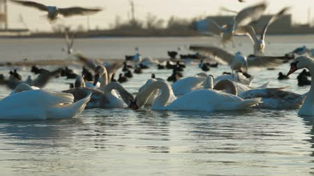 утки : Flock of Migrating Mute Swans at Frozen Lake