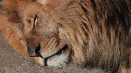 ленивый : Sleeping lion