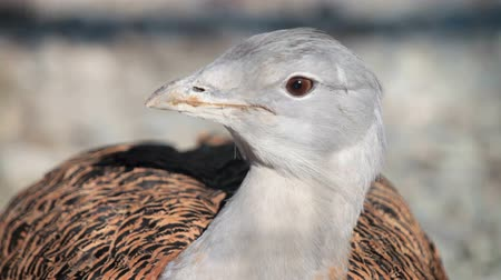otis : Great Bustard