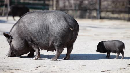 porky : vietnamese dwarf pig mother with her baby