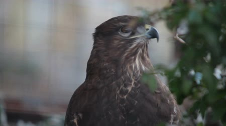 presa : buzzard hawk
