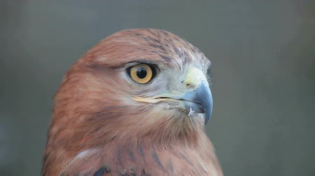orel : buzzard hawk close-up