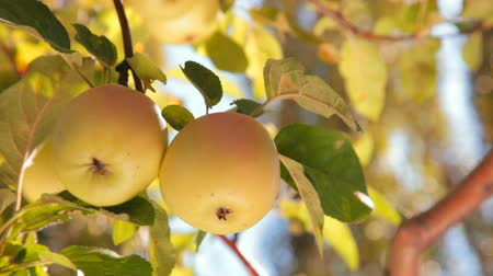 diferansiyel odak : two apples on tree