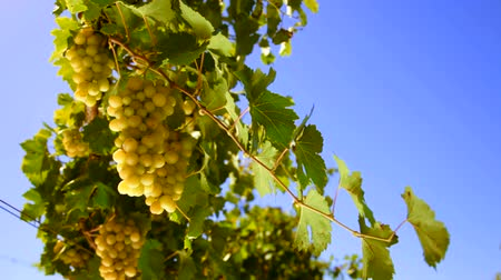 diferansiyel odak : bunches of White wine grape Italy Stok Video