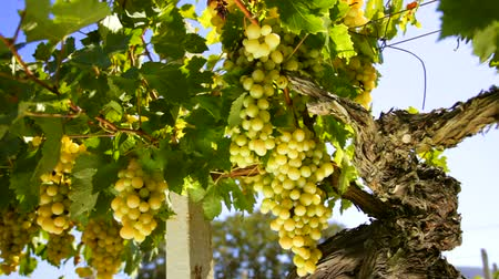 White wine grape Italy
