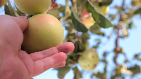 diferansiyel odak : Ripe Apples on Tree Stok Video