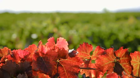winnica : Autumn colors over some grape leaves Wideo