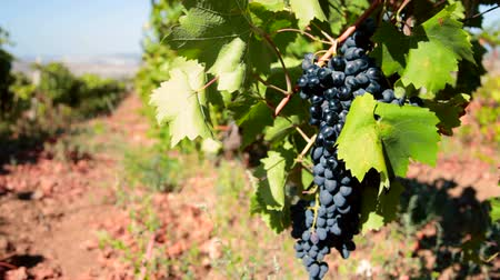 diferansiyel odak : ripe grapes Moldova ready for harvest Stok Video