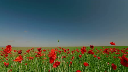 kayran : Red Poppies And Green Wheat Under Blue Sky, Dolly Shot