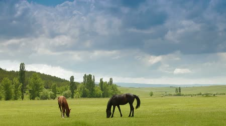 otlama : Two Young Horses Grazing In Spring Pasture Stok Video