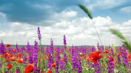 pasture land : Colorful spring blooming field - poppies and sage Stock Footage