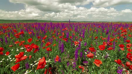 луг : Colorful spring blooming field - poppies and sage, Wide shot Стоковые видеозаписи