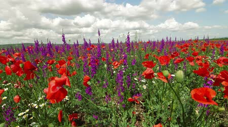 salvia : Colorful spring blooming field - poppies and sage, Wide shot Stock Footage