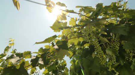 winnica : Green Grapes Against The Sun