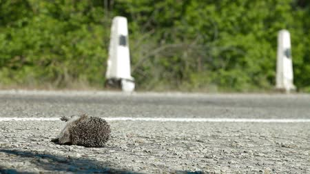 imprudence : Hedgehog Pedestrian Killed in Road Accident