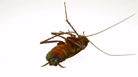 ölen : Dying roach under the influence of insecticide