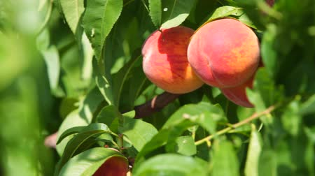 brzoskwinie : Ripe Peaches on the Tree Wideo