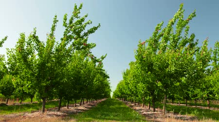 pomar : Apricot Orchard