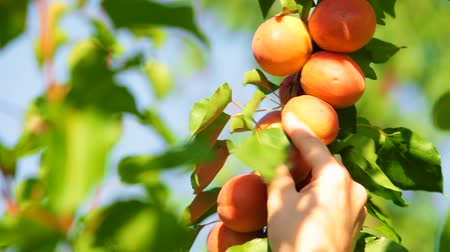 womans hand : Womans hand picking apricot from the tree