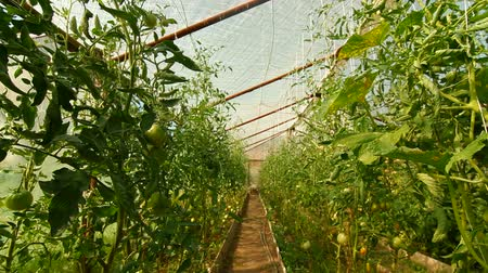 wijnranken : DOLLY: Tomaten Greenhouse